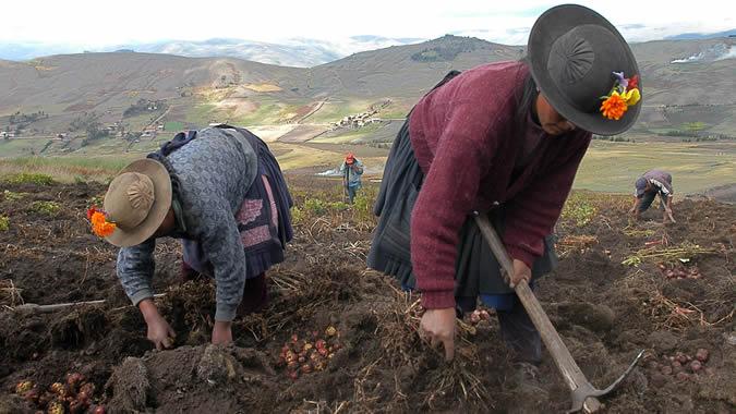 Mujeres rurales del Perú cosechan papas.